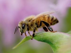 honeybee wildflower